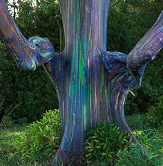Rainbow Eucalyptus- The unique multi-hued bark is the most distinctive feature of the tree. Patches of outer bark are shed annually at different times, showing a bright green inner bark. This then darkens and matures to give blue, purple, orange and then maroon tones.