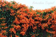Fotografías de la floración y características generales de la planta trepadora conocida como Liana de Fuego, Pyrostegia venusta. Consejos para el cultivo.