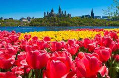 42 heures à Ottawa pendant le Festival des tulipes