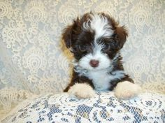 My little chi-poo teddy bear