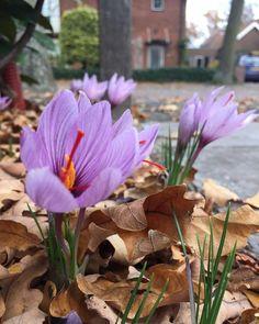 Crocus sativus (Saffron)