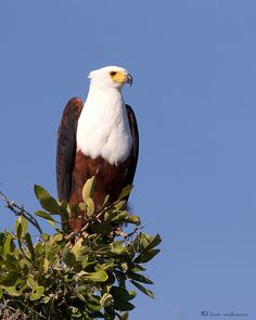 https://flic.kr/p/JtJvgP | African Fish-Eagle | Wild South Africa Kruger National Park