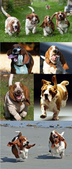 Just Basset Hounds Running - hahahaha