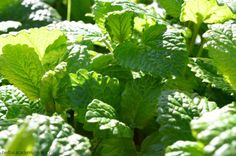 DIY bee sting remedy, but not how you'd expect. Lemon balm is easy to grow and treats bites, stings, and more.