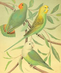 Red-headed Love Bird, Grass Parakeet and Madagascar Lovebird. Plate from 'The Illustrated Book of Canaries and Cage Birds'by W.A. Blakston, W. Swaysland, and August F. Wiener. Published 1878 by Cassell, Petter, Galpin & Co. archive.org
