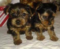Micro Tiny Teacup Yorkie Puppies For Adoption - Khor Fakkan - PT130527
