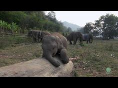 Clumsy Baby Elephant Puts On A Hilarious Show For The Camera - Daily Megabyte