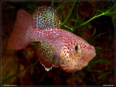 Nothobranchius_orthonotus_MZCS_Bala-Bala_08-122