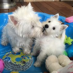 """5,825 Likes, 139 Comments - Emma & Eve❤️ (@emma_the_westie) on Instagram: """"Emma enough with the kisses, mums trying to take my picture!..."""""""