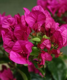 Deep pink bougainvillea from plants4presents.co.uk with beautiful, vibrant flowers