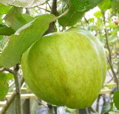 Le Domestica Grenar Online From Jacksons Nurseries Fruit Plants Trees