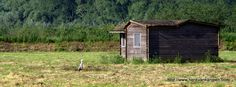 A shed in a Dutch meadow, with a heron
