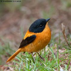 The Black-and-orange Flycatcher (Ficedula nigrorufa) is a species of flycatcher endemic to the central and southern Western Ghats, the Nilgiris and Palni hill ranges in southern India. Cute Birds, Pretty Birds, Small Birds, Little Birds, Colorful Birds, Beautiful Birds, Animals Beautiful, Cute Animals, Beautiful Things