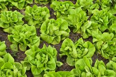 Similar to Bibb and Boston lettuce, butter lettuce is easy to maintain, and today we'll show you how to grow butter lettuce in the garden! Fresco, Buttercrunch Lettuce, Head Of Lettuce, Grow Lettuce, Lettuce Seeds, Garden Seeds, Veg Garden, Garden Care, Vegetable Gardening