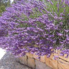 Lavendel -staude