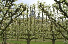 Potager du Roi, Versailles, France. Doesn't get much grander than this when it comes to training fruit trees!