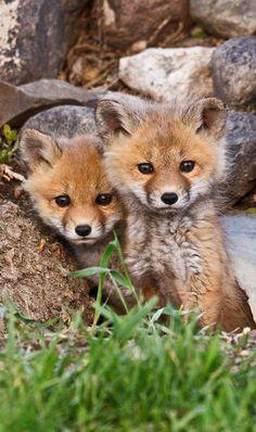 Little fox   by SaskSnapper via Flickr