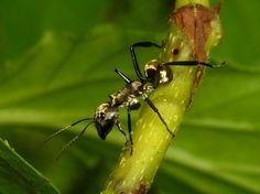 Golden Carpenter Ant, Camponotus sericeiventris from Ecuador: www.flickr.com/photos/andreaskay/albums