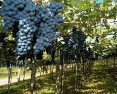 Conheça os melhores vinhos brasileiros