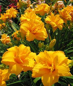 """Daylily, Condilla - Reblooming beauty produces continuing show of countless 6-petalled 4½"""" golden blooms. Very nice!"""