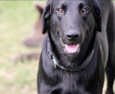 SUCCESS:  ADOPTED!!!  Austin (Foster) is an adopted Black Labrador Retriever Dog in Baton Rouge, LA.  Austin is in foster care.  To meet him please contact his foster mom, Michelle, at ( 727)-482-0387, or  michelleerckert@...
