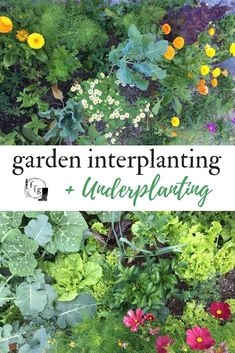 Companion Gardening Interplanting and companion planting in the home garden - Interplanting and underplanting increase yield in small spaces. Interplanting involves growing smaller crops around your larger crops before Growing Tomatoes In Containers, Growing Vegetables, Fruit Garden, Edible Garden, Veg Garden, Garden Planters, Garden Beds, Gardening For Beginners, Gardening Tips