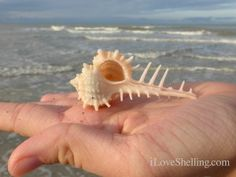 a CABRITS MUREX..I found so many of these after we had Hurricane Ivan and Erin @Linda Anderson Beach. They are so pretty!