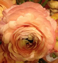 Peach Ranunculus - Ocean View Flowers