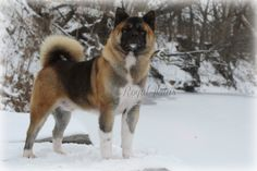 Looks like Payton boy Japanese Akita, Japanese Dogs, Live Animals, Zoo Animals, Horse Breeds, Dog Breeds, American Akita, Akita Dog, Loyal Dogs