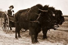 2-wheel Road Cart, sometimes referred to as a Gig, pulled by Bison.