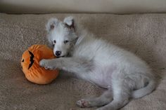 White Sheltie! How rare is this?