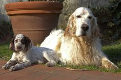 Beautiful Dogs, Puppy Love, Hunting, English Setters, Puppies, Bird, Pets, Wallpaper, Amazing