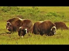 Musk Ox Nome, Alaska August 2015 https://youtu.be/5I4kRAl8KEI