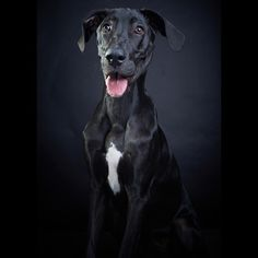 Great Dane Gran Danez