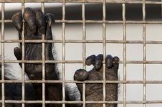 New York: Judge Orders Stony Brook University to Defend Its Custody of 2 Chimps - NYTimes.com