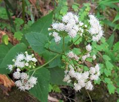 WHITE SNAKEROOT: (Ageratina altissima, formerly Eupatorium rugosum).  Photograph taken August 6, 2012 at McConnell's Mill State Park in Lawrence County, PA.