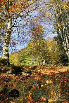 SELVA DE IRATI. Situado entre los valles de Aezcoa y Salazar, al norte de la Sierra de Abodi, en el Pirineo occidental navarro. Es uno de los últimos ejemplos de bosque mixto de montaña. Crecen las hayas junto a abetos blancos, pinos silvestres y negros, tejos, los olmos, los sauces, los avellanos y los fresnos.