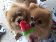Pomeranians!..I had a black one that lived to be 18+years??  She was so wonderful.