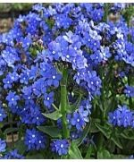 The blue Chinese 'forget me not' plants are very popular.           I love to underplant my roses with forget me nots.    They look so good and make my rose beds look great while they are leafing out in early spring.    The forget-me-not species bloom profusely during spring and early summer, with exquisite ting blue flowers..