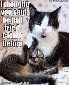 Catnip kitty