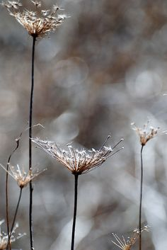 Brown, Silver Gray - queen anne's lace in snow Macro Fotografie, Meadow Garden, Foto Art, Seed Pods, Arte Floral, Winter Garden, Earth Tones, Brown And Grey, Paisajes