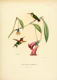 Suppl. Plates - Histoire naturelle des oiseaux-mouches, ou, Colibris constituant la famille des trochilidés / - Biodiversity Heritage Library