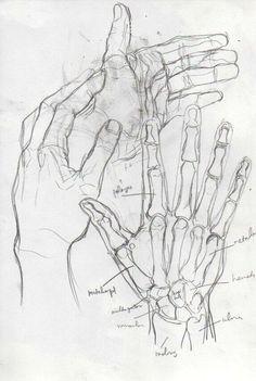 Squelette d'une main