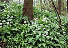 Daslook of Allium ursinum een gezond keukenkruid / schaduwplant
