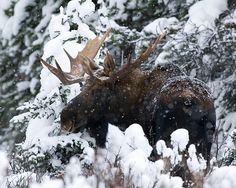 Winter Bull Moose