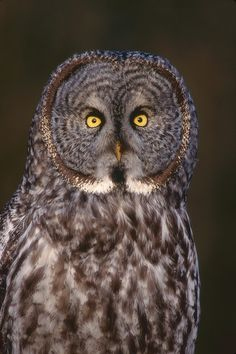 Grey Owl Portrait.  Deer Lake, Burnaby, BC by Adam Gibbs
