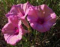 Morning Glory Ipomoea leptophylla