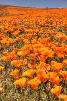 Poppy Explosion – Lancaster, CA