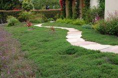Thyme as a lawn alternative