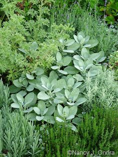 A quiet combination of 'Berggarten' sage (Salvia officinalis) with lavender cotton (Santolina chamaecyparissus), common thyme (...